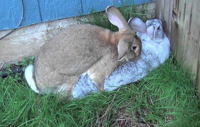 Как безошибочно определить беременность крольчихи