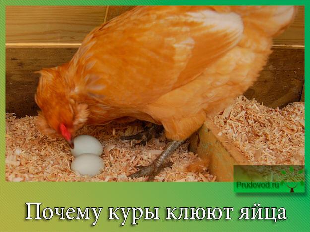 Почему куры клюют свои яйца и что делать