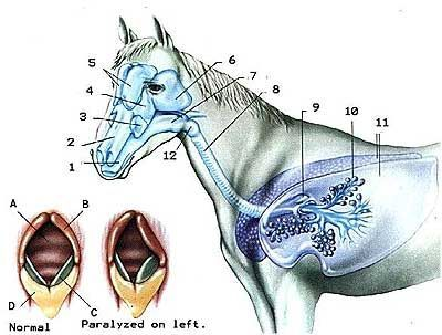 «строение лошади»
