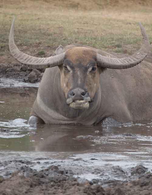 Водяной буйвол википедия