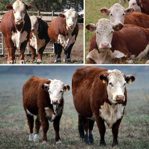 Герефордская порода коров: особенности содержания, питания и разведения