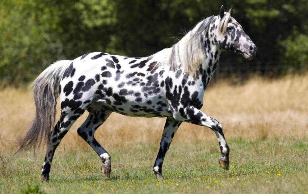 Лошадь пегой масти: происхождение, уход и кормление