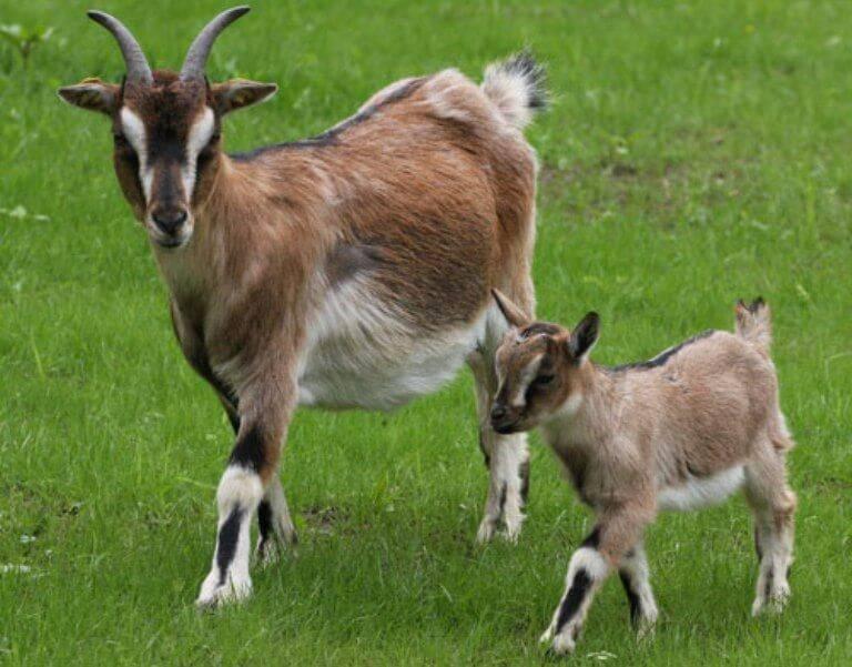 Домашняя коза - выгода содержания и правила разведения (85 фото + видео)