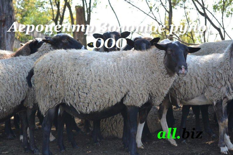 Разведение овец: основы и правила — cельхозпортал