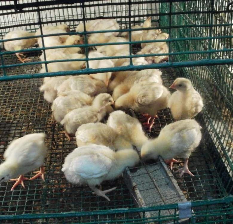 Учимся отличать бройлерных цыплят от прочих