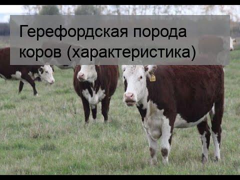 Герефордская порода коров: характеристика, уход и кормление