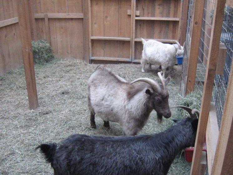 Разведение и выращивание коз как бизнес в домашних условиях 2020