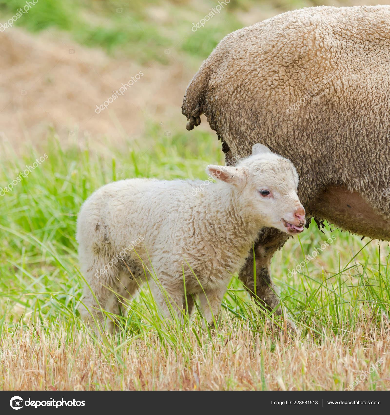 Как нам величать детей овец?