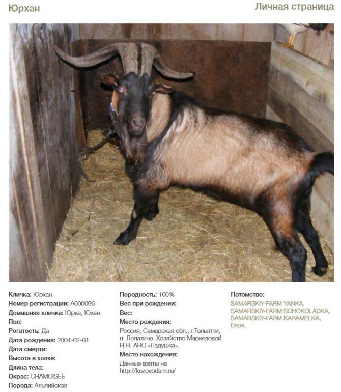 ✅ об альпийской козе: описание породы, сколько дает молока, общая характеристика - tehnomir32.ru