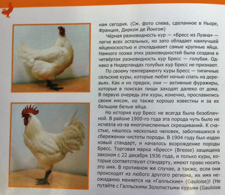 Бресс-гальская порода кур (28 фото): описание и выращивание цыплят, отзывы
