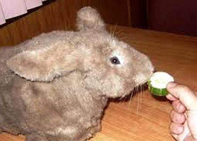 Можно ли давать кроликам огурцы и кабачки? можно ли давать кроликам кабачки: как кормить, едят ли тыкву и сырые листья?