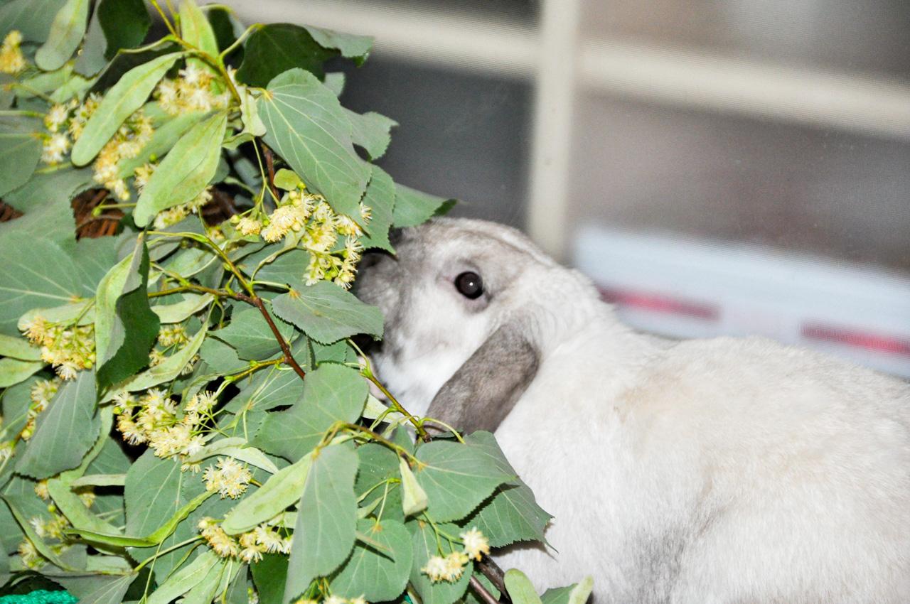 Веточный корм для кроликов: какой можно давать