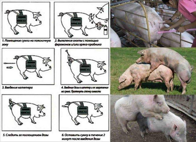 Как правильно зарезать свинью в домашних условиях: популярные методы забоя по технологии