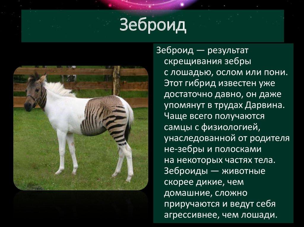 Происхождение и эволюция лошадей | мои лошадки