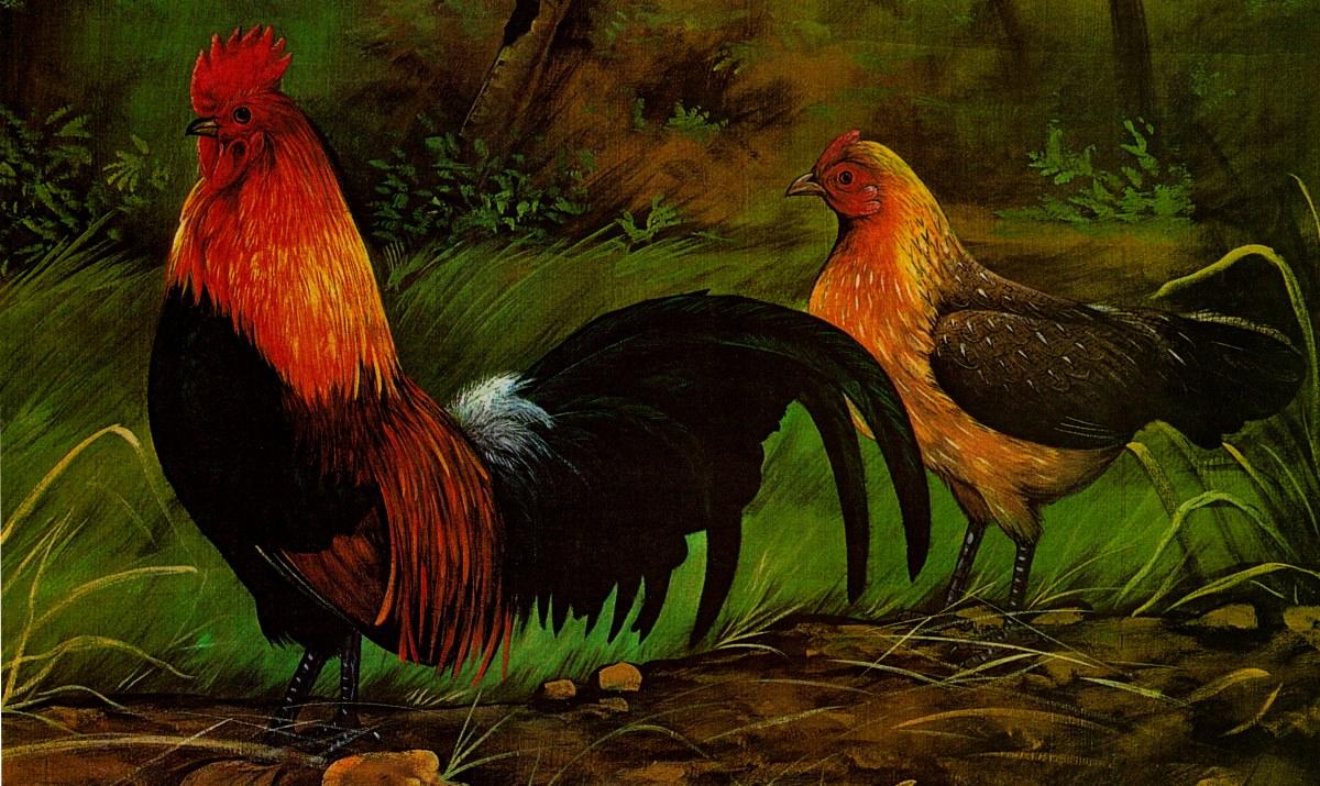 Дарвин ошибался относительно происхождения домашней курицы