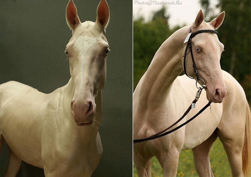 Лошади изабелловой масти: самые редкие и красивые скакуны