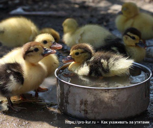 Дикая утка: виды, содержание в домашних условиях, кормление