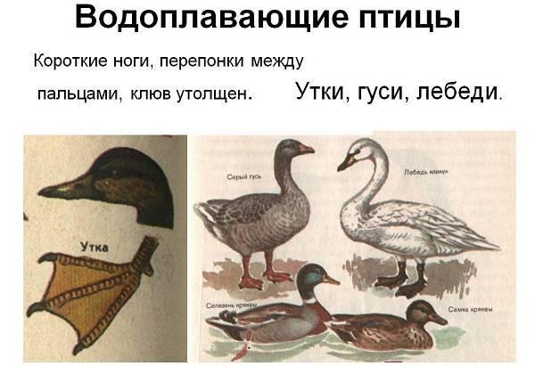 Чёрные утки — белогрудая и белоклювая