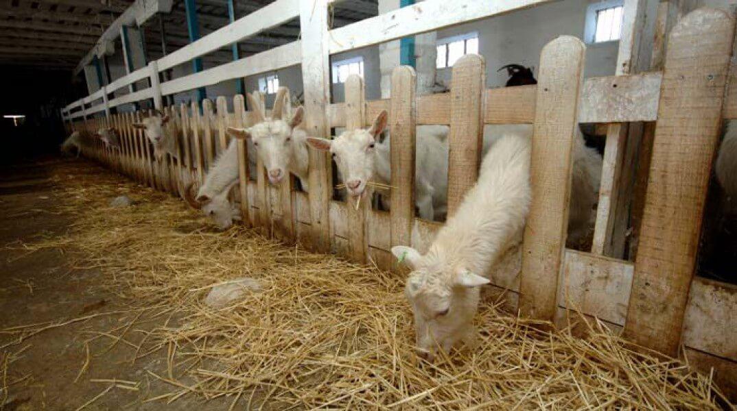 Содержание коз: чем кормить коз, советы для начинающих