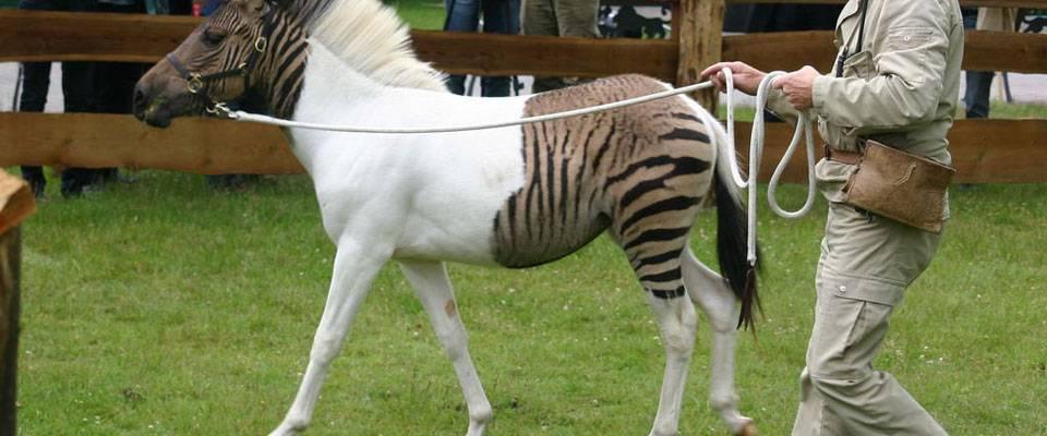 Смесь лошади и зебры