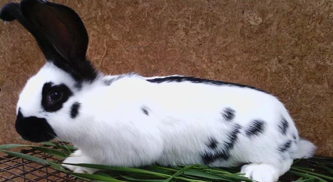 Декоративный кролик бабочка: описание и характеристика породы, фото, разведение в домашних условиях, видео