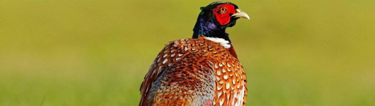 Королевский фазан: особенности, характеристики породы, описание и фото