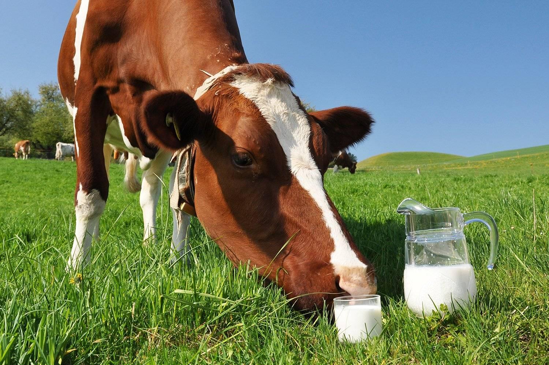 Почему горчит молоко у коровы: причины, что делать