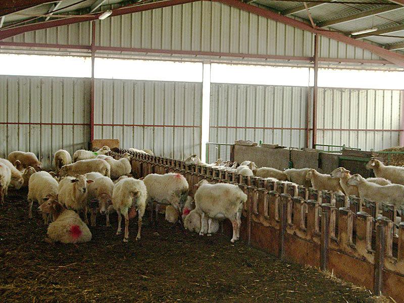 Откорм овец на мясо в домашних условиях | блог анатолия кузнецова
