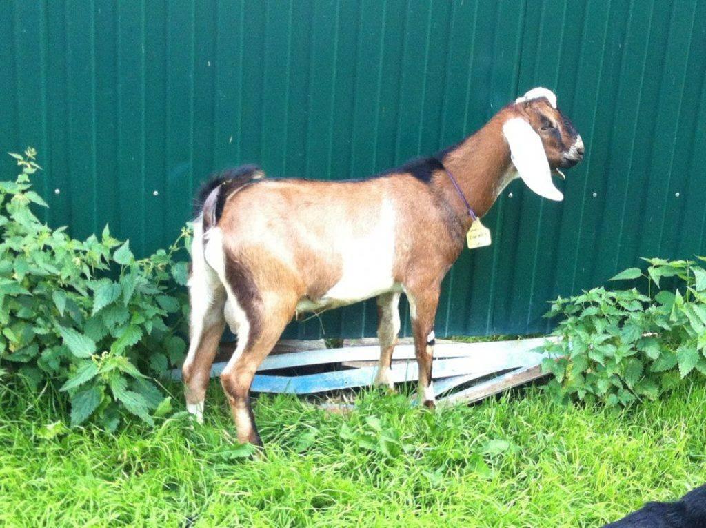 Породы коз молочного направления без запаха