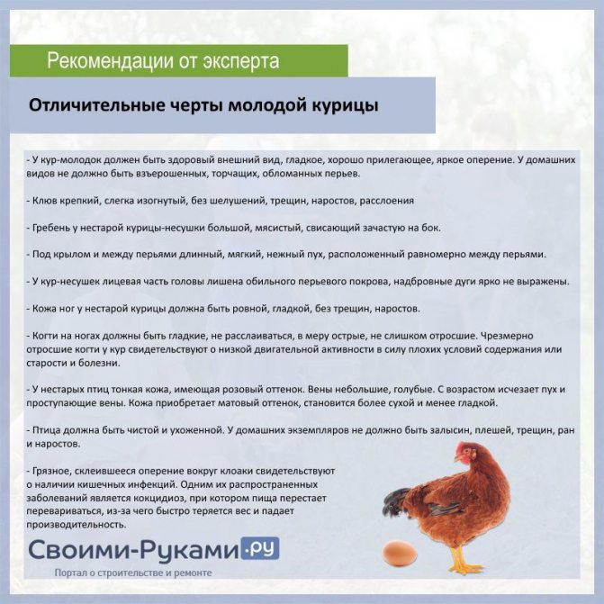 Начало яйценосного периода у кур-молодок