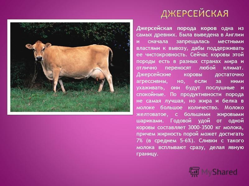 Джерсейская корова: описание породы и основные характеристики