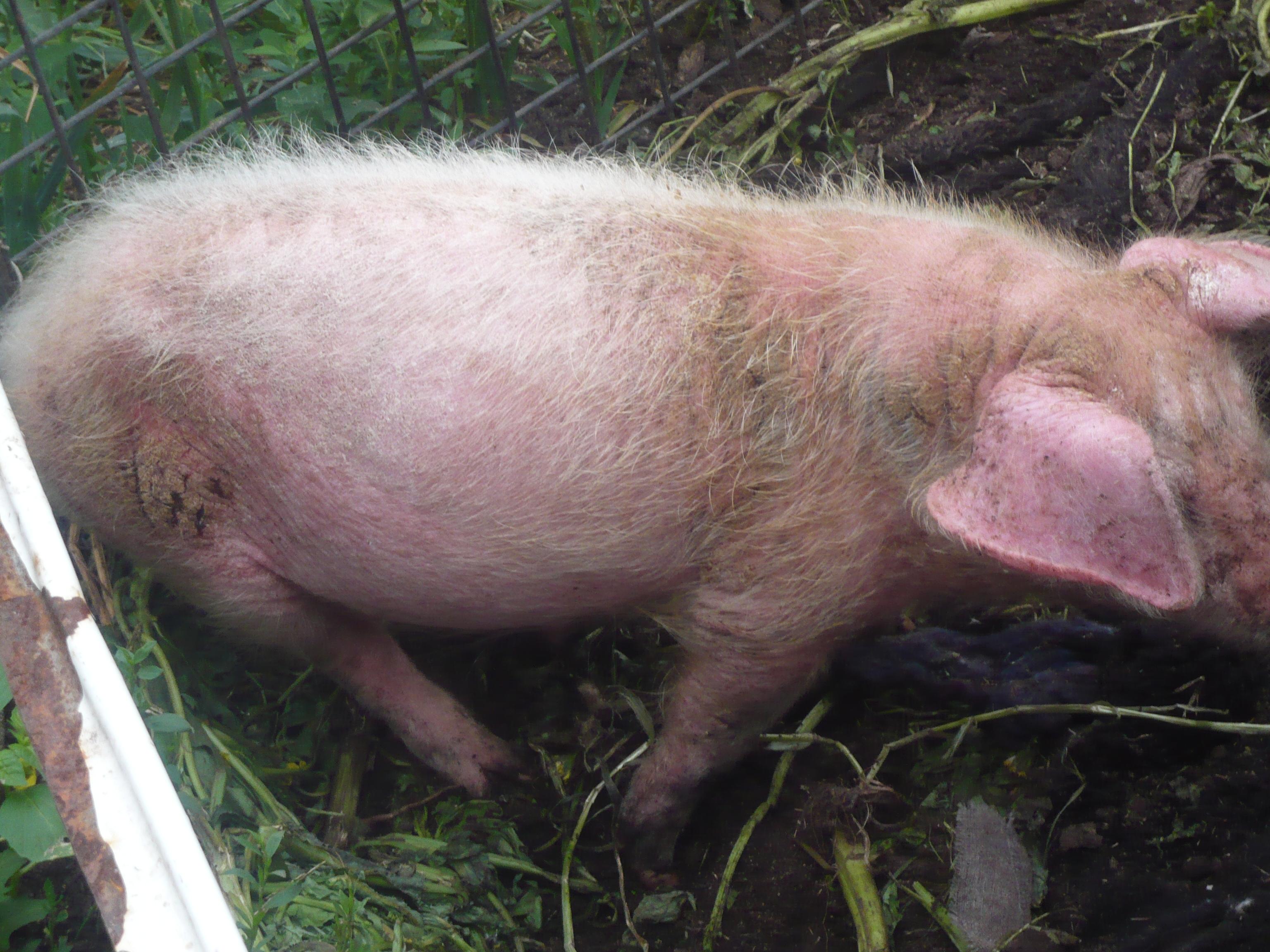 Чесотка у свиней лечение народными средствами | портал о народной медицине