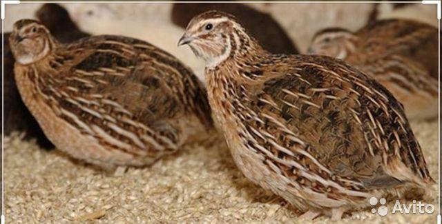 Перепел обыкновенный: описание птицы, продуктивность, разведение и уход