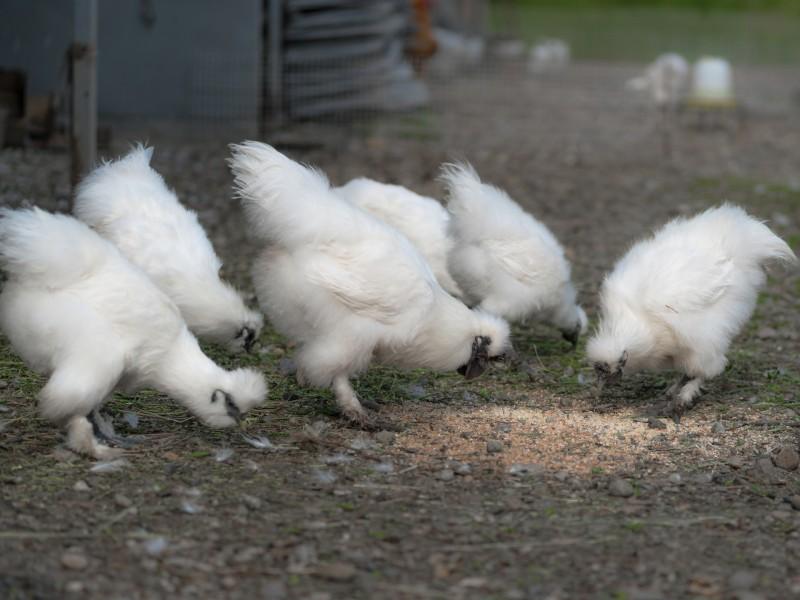 Китайская шелковая курица: содержание и разведение