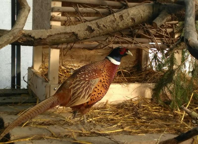 Правила кормления фазанов в домашних условиях