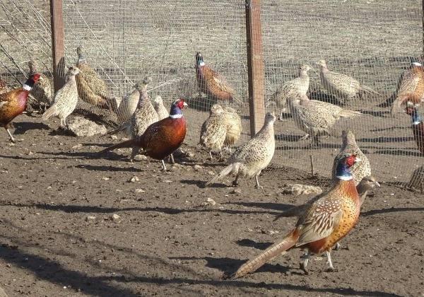 Выгодно ли разведение фазанов?