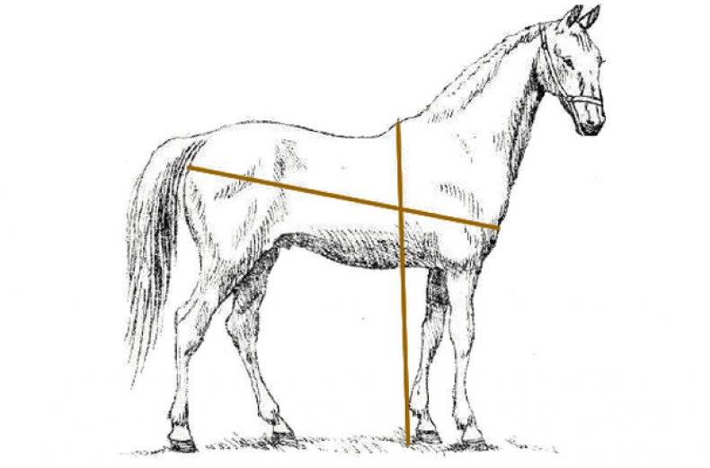 Сколько живут лошади: содержание, питание и уход