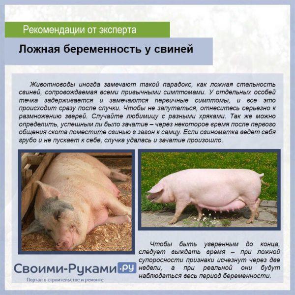 Сколько ходит беременная свинья: сроки, признаки беременности