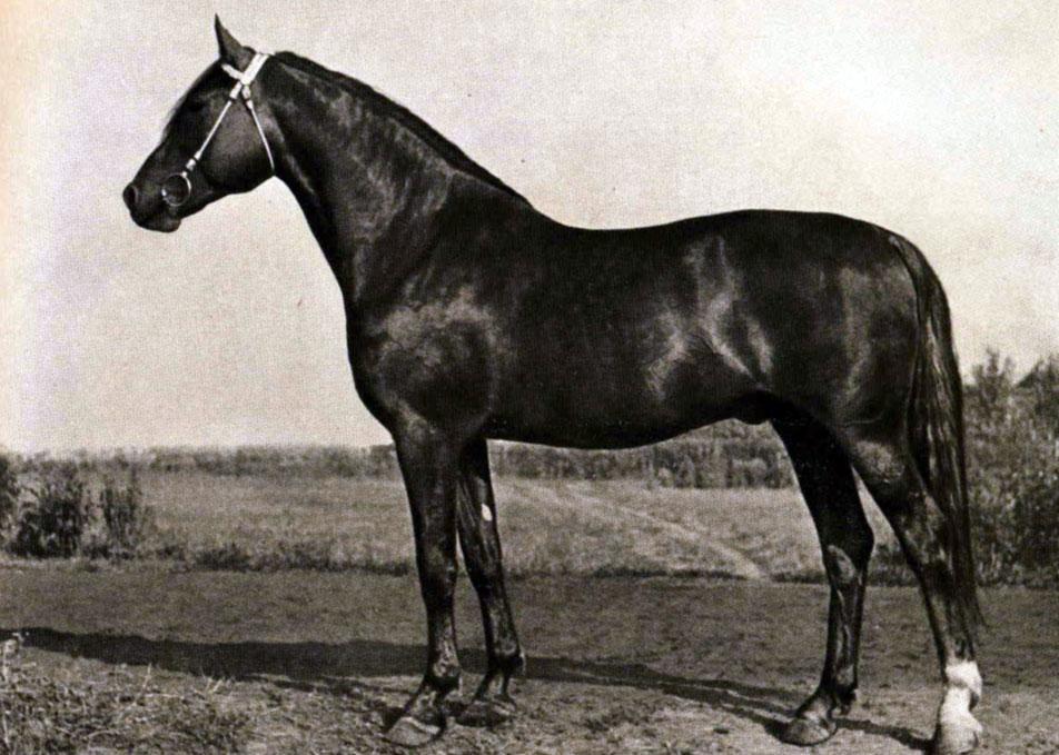 Описание лошадей породы русская рысистая