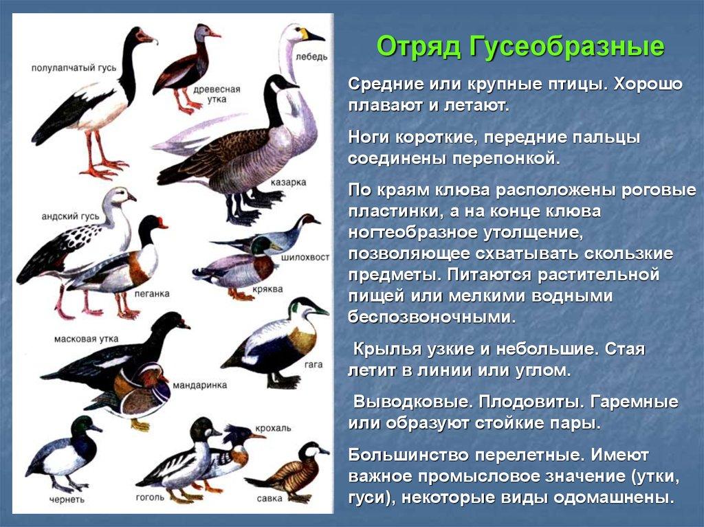 Какие разновидности уток встречаются в природе: фото и названия