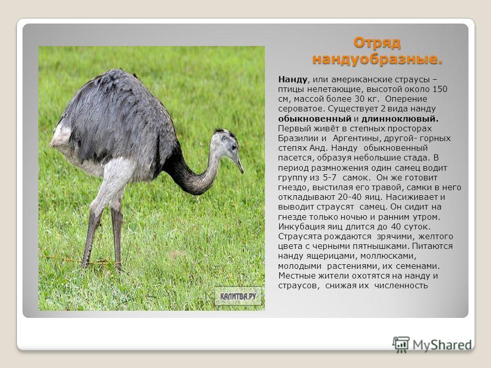 Нанду страус: описание и фото, где обитает, особенности и внешние характеристики