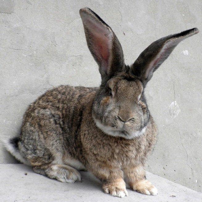 ✅ о самом большом кролике в мире: основные породы кроликов гигантов - tehnomir32.ru