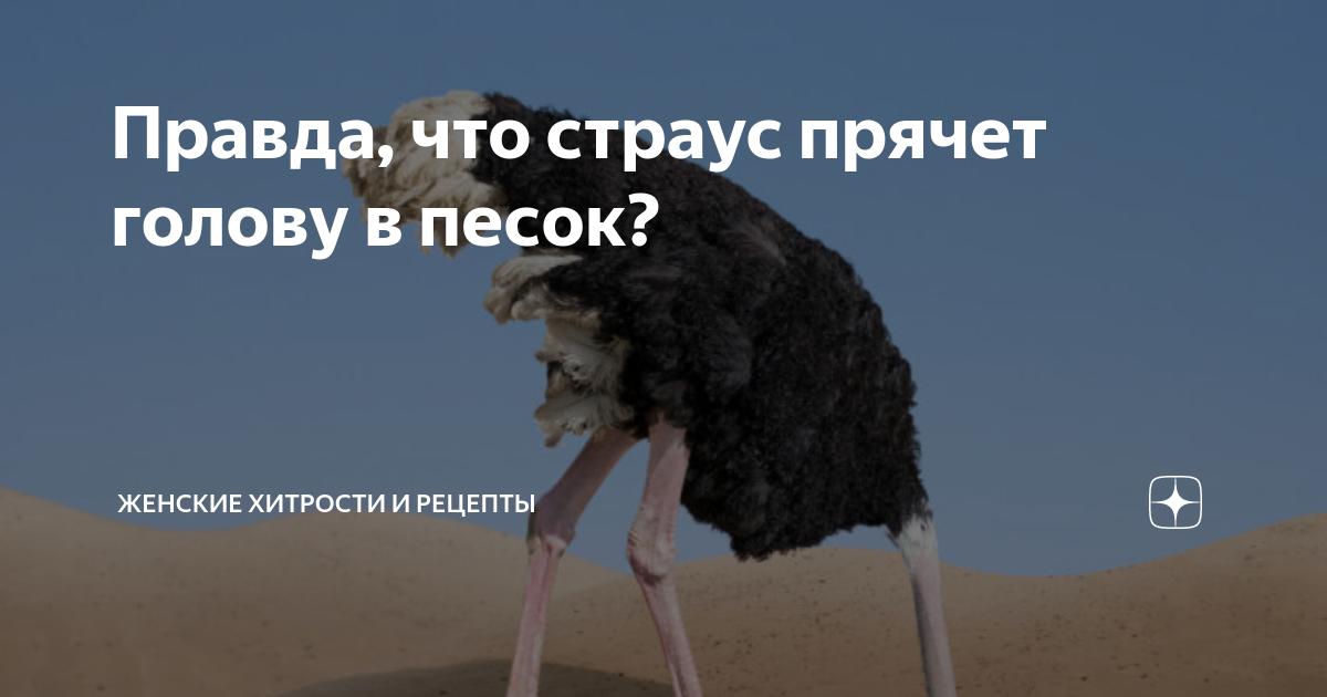 Страус прячет голову в песок: миф или правда - твойпитомец
