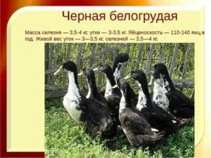 ✅ все о французской породе уток: описание, характеристики, выращивание и кормление - tehnomir32.ru