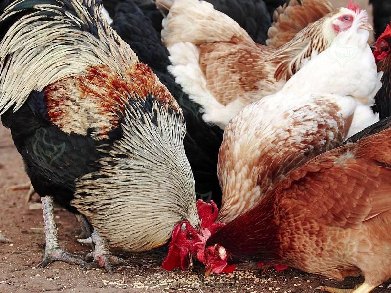 Об оплодотворении курицы петухом: влияет ли петух на яйценоскость кур