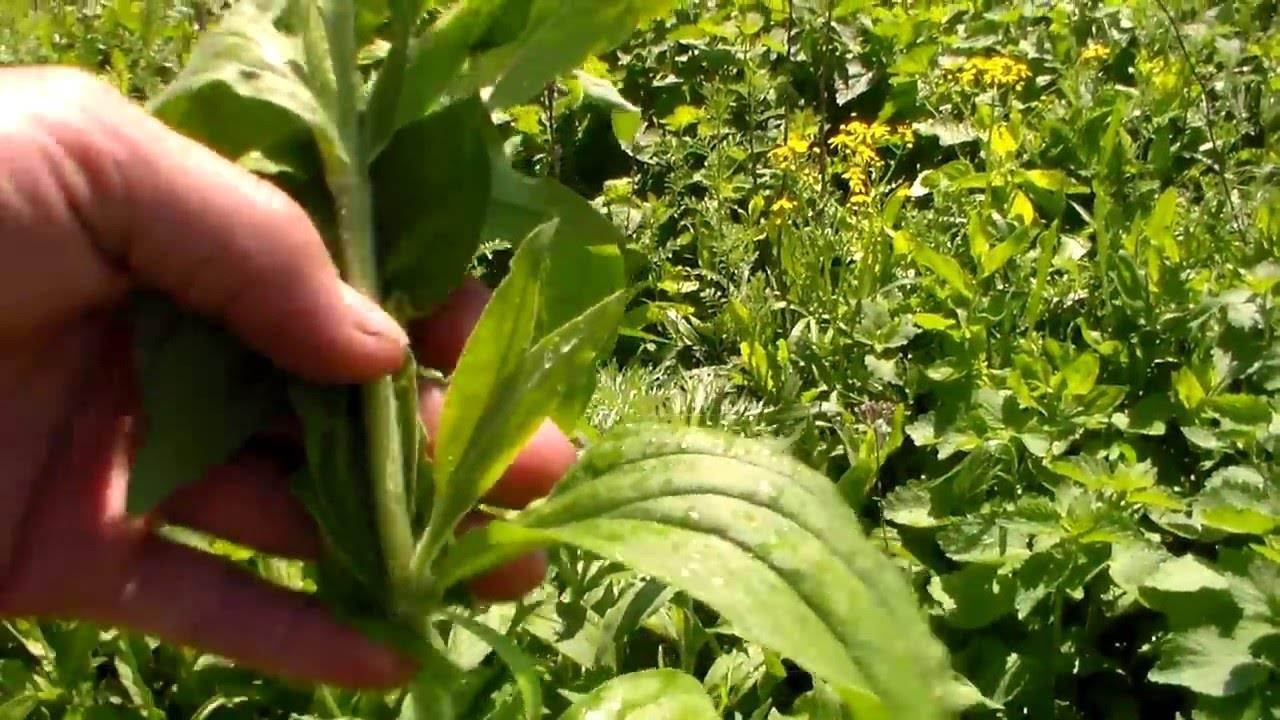 Крапива - новая кормовая культура | fermer.ru - фермер.ру - главный фермерский портал - все о бизнесе в сельском хозяйстве. форум фермеров.