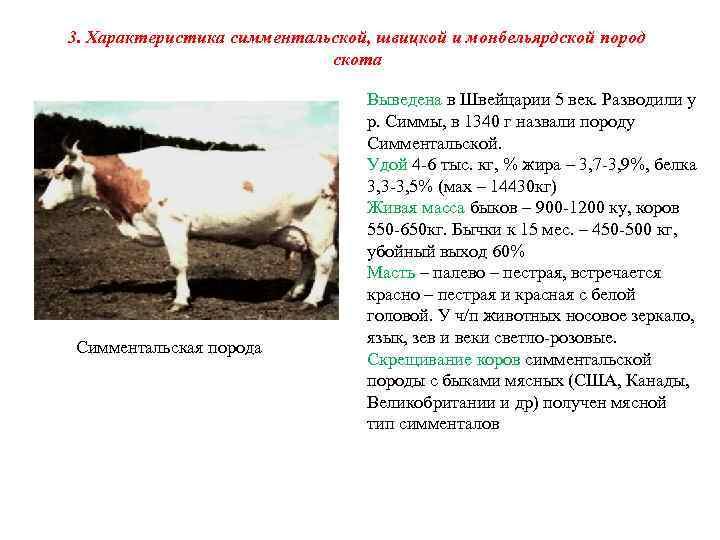 Симментальская порода коров: характеристики телят, мясных бычков, молочных нетелей — продуктивность крс, показатели удоя для разведения, фото скота — moloko-chr.ru/