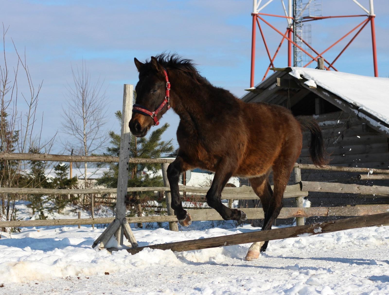 Тракененская порода лошадей: описание и характеристики породы, условия содержания, как и чем кормить