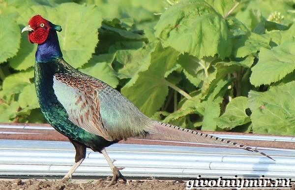 Как выглядит птица фазан: породы и разновидности