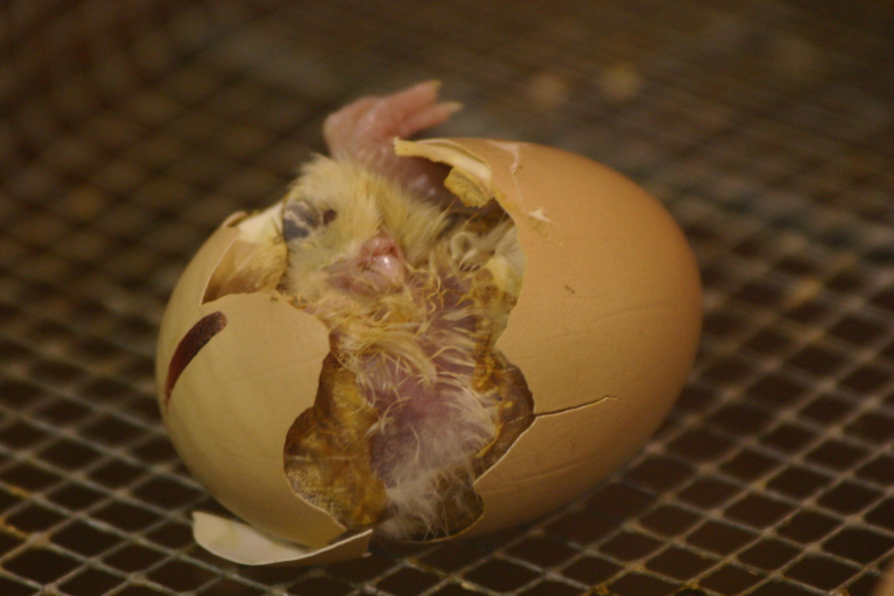 Определение пола цыпленка по форме куриного яйца